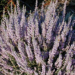 3 CALLUNA VULGARIS Silver Knight Garden Heathers Plants