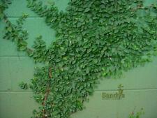 Ficus pumila Creeping Fig Gallon pot