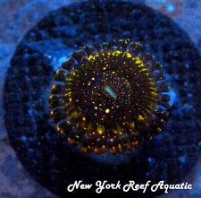 New York Reef Aquatic - 0611 H1 Frankie'S Acid Trip Zoanthid Wysiwyg Live Coral