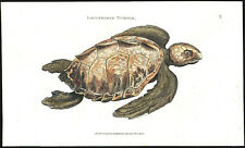 LOGGERHEAD TURTLE 1802 vintage original painted engraving on hand-made paper
