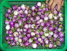 *UNCLE CHAN* 1000 SEED Asian Vegetable plant Small Round Purple Thai eggplant