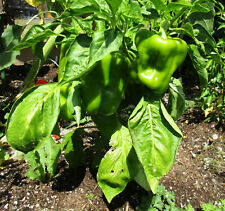 California Wonder Bell Pepper, old nonhybrid variety, 125 seeds