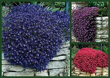 Rock Cress Seeds, Rockin Rock Cress 3 Pk Special, Heirloom Ground Cover Seeds