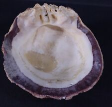 "Sea Shell 6.5 X 5.5"" Smudging Crafts Soap Luau Decorating Candy Trinket Dish"