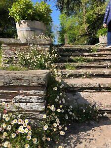 Erigeron karvinskianus 'Sea of Blossom 9cm Organic Pot
