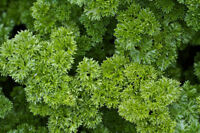 300 MOSS CURLED PARSLEY SEEDS 2019 ( NON-GMO FREE SHIPPING! )
