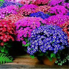 30 Florists Cineraria Flower Seeds Amigo Mix shades of blue red and pink A079