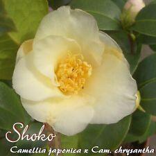 "Kamelie ""Shoko"" - Camellia japonica x Cam. chrysantha - 3-jährige Pflanze"