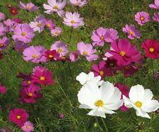 ☺50 graines de cosmos en mélange blanc /rose/ rouge