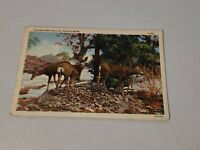 Vintage Postcard - Group Of Deer Maine Woods ME Posted Early 1900s #527