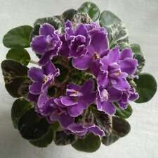 Violetta - piccola piantina della varieta'  APRIL ROMEO - mini (foto2)