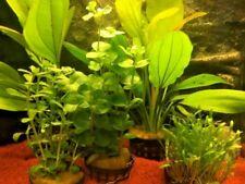 5 Töpfe Aquarienpflanzenset  Wasserpflanzen Echinodorus