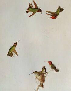John James Audubon Birds ANNA'S HUMMINGBIRD Original Vintage Art Book Plate