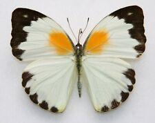 New listing Butterfly  x1 female Nepheronia argia argia (Ghana)  form B