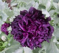Peony Poppy- Black- 100 Seeds - 50 % off sale