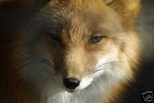 Red Fox Taxidermy Reference Photo Cd