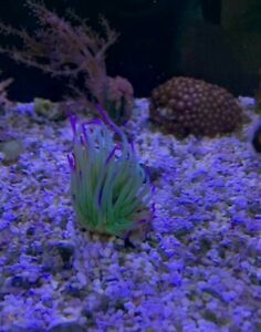 PURPLE TIPPED ANEMONE'S MARINE ANEMONES LIVE CORAL ( large )BUY 1 GET small free