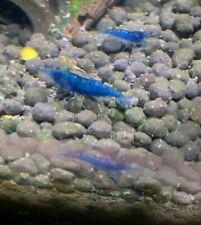 20 + 2 Blue Dream Velvet Shrimp Neocaridina Davidi *local pickup in Pa, Usa*