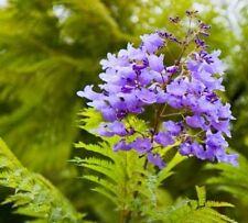 JACARANDA MIMOSIFOLIA - BLUE JACARANDA TREE, 100 HIGH QUALITY SEEDS