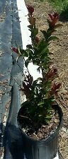 Double Feature Crape Myrtle Dwarf Summer Ruby Red Bloom Flower Plant Red Leaves