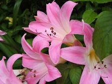 Amaryllis Belladonna Hippeastrum - 2 Bulbs
