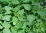 ORTIGA urtica dioica MEDICINAL 500 semillas frescas