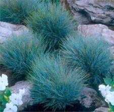 Festuca glauca 'Blaufuchs' - Blue grass  (3 x large plug plant)