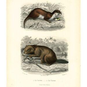 Antique French Engraving, Œuvresde Buffon,Otter & Beaver,Garnier Frères,1853