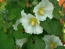 Alcea rosea | Hollyhock | 20_Seeds FREE SHIPPING