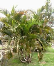 🌴 10 GRAINES D'ARECA PALM (Dypsis lutescens) Palmiste multipliant SEEDS SAMEN
