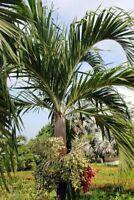 Exot Samen schnellwüchsig Palme Zierpflanze Rarität WEIHNACHTS-PALME