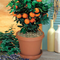 30Pcs Orange Tree Bonsai Seeds Rare 3 Kind Citrus Fruit For Garden and Home