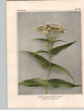 1934 Wildflower Book Plate Common, Vervain & Hyssop-Leaved Thoroughwort