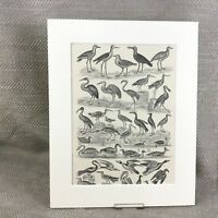 1894 Antique Bird Print Crane Heron Wild Fowl 19th Century Engraving
