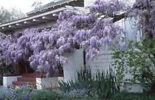 6 x chinese wisteria tree seeds (wisteria sinensis) tree seeds.
