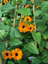 50 Thunbergia alata Seeds,Commonly called Black-eyed Susan vine,Climber Flowers