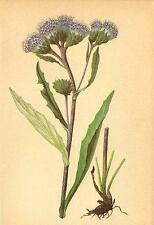 ALPENFLORA ALPINE FLOWERS: Saussurea alpina (L. ) DC-Gemeine Alpenscharte;1897