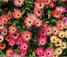 200 Common Drawf Daisy Seeds Ground Cover Creeping Garden Flower Perennial Fresh
