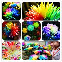 100 PCS Seeds Bonsai Rainbow Chrysanthemum Flowers Plants Rare Color Mix 2019 N