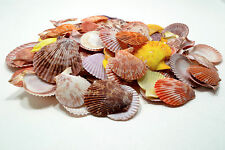 "50 Pectin Noblis Seashells 1 to 2-1/4"" Wedding Craft Nautical Shell Decoration"