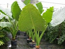 Alocasia BORNEO GIANT Elephant Ear - Grows 15 Feet High - 3 Mature Bulbs