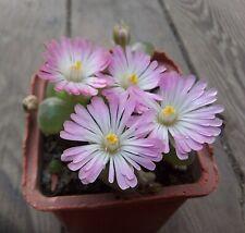 30 seeds  ophthalmophyllum lydiae    30 FRESH  SEEDS RARE living stones