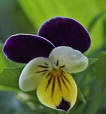 Heirloom Viola Johnny Jump Up (Helen Mount) Seed Purple White YellowFlower Hardy