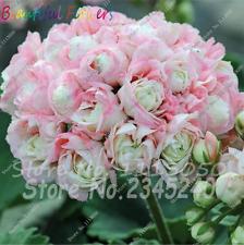 Hot 200 Pcs Geranium Seeds Flower Plants Bonsai Flower Seeds Balkon Sardunya Toh