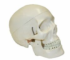 Model Human Skull Life Size Classic Plastic Scientific Anatomical Walter Product