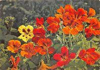 B52025 fleurs flowers Tropaeolum majus Capucine