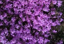 Beautiful Purple Starry Flower Seeds Very Fragrant Bonsai Plants 200 Seeds