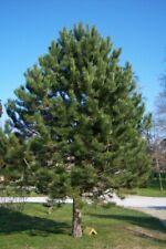 25 x Ponderosa Pine Tree semi pinus Ponderosa Albero BLACKJACK PINE