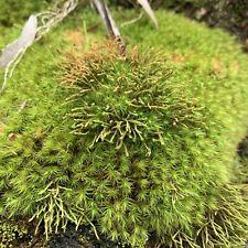 1KG Terrarium Sheet Live Moss - Bonsai   Japanese Garden   Fernery   Fairy