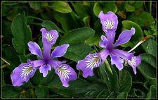 20+ Flower Seeds / Iris Oregan  /  Purple and White / Perennial